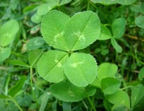 4-leaf clover anomaly