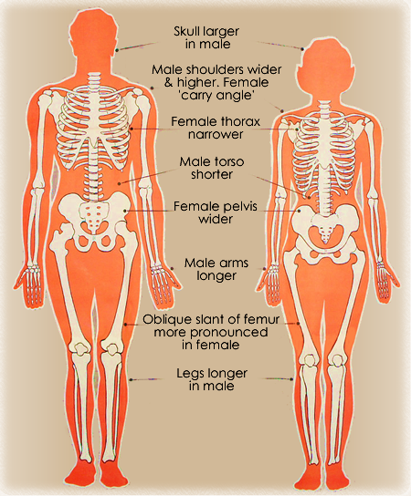 Differences between male & female skeleton