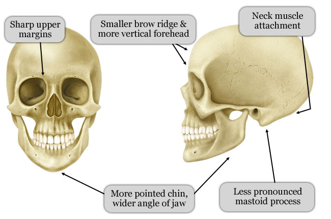 Sexual dimorphism in human bones